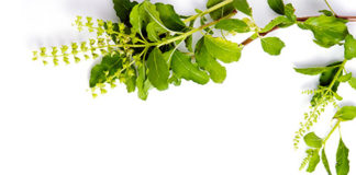 5 Medicinal Benefits Of Tulsi (Basil) That Could Save You Today!